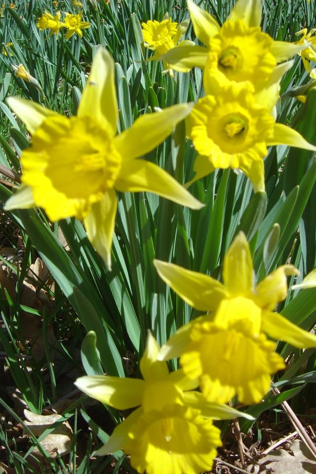 Narcisos 2006 002