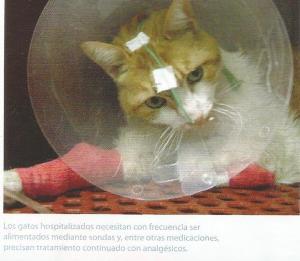 dolor en gatos 10003