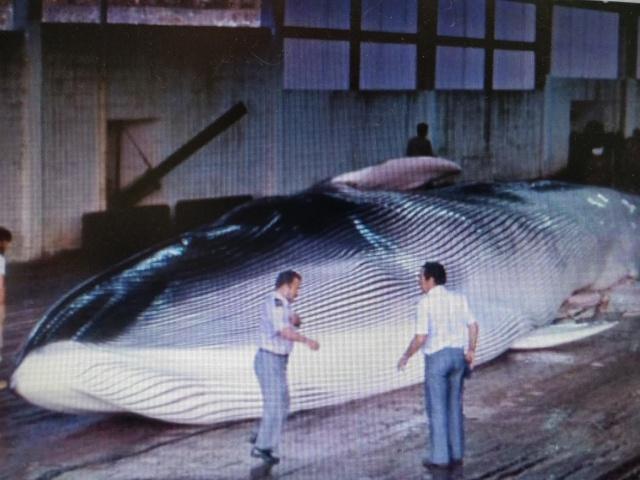 balleneros Factoría Balea en cangas, rorcual