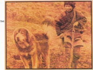 Molosos mastin tibet (2)