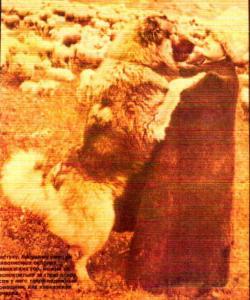 pastor caucaso