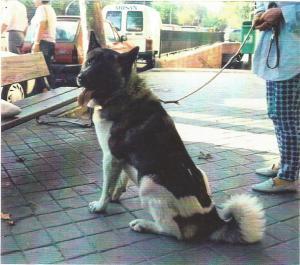 Perros akita inu