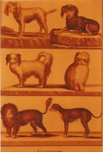 perros falderos de Bonnaterre0002
