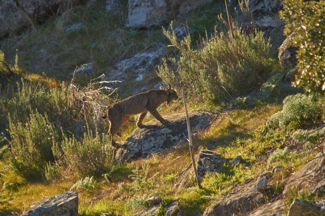 lince 5