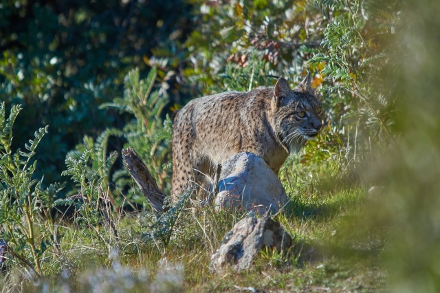 lince 6
