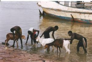 Mali. rio Niger lavando cabras