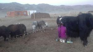kazajos ordeñando yacks