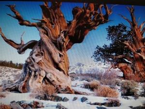 Arboles miticos. pinus longaeva