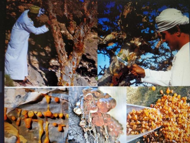 Arboles miticos. recoleccion incienso 2