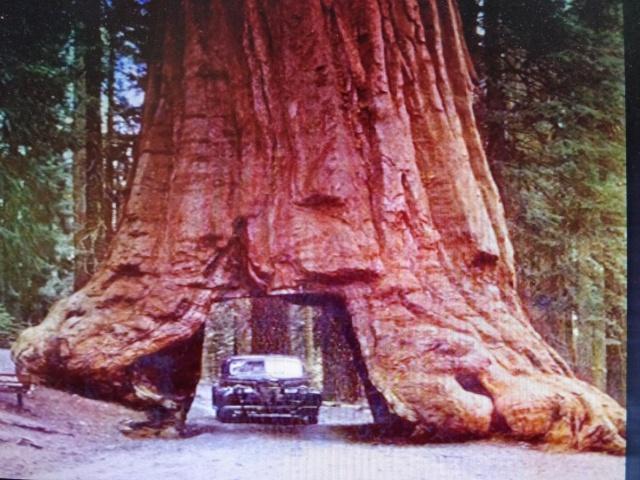 Arboles miticos. tunel en sequoya