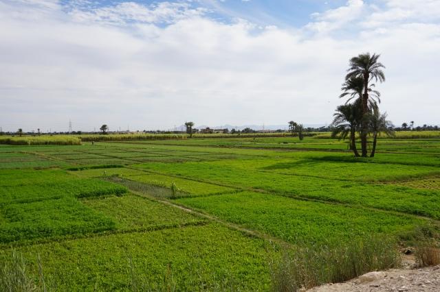 egipto. campos de cultivo