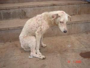 Perros India-2